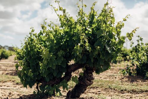 オーストラリアの古樹ブドウ
