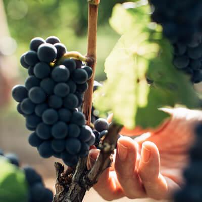 世界中のブドウ品種がここにはある