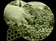 ナパ・ヴァレーの葡萄収穫量はカリフォルニア州の中でわずか4%
