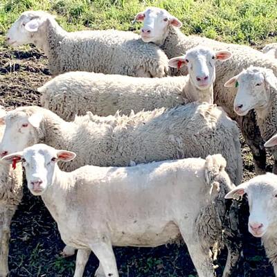 ケラー・エステートの羊